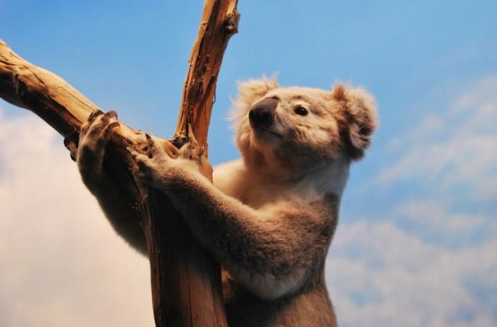 EL koala, el animal que más duerme