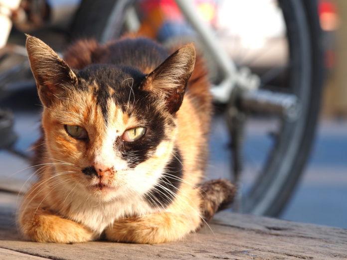 curiosidades gatos